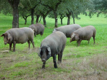 raza del cerdo ibérico
